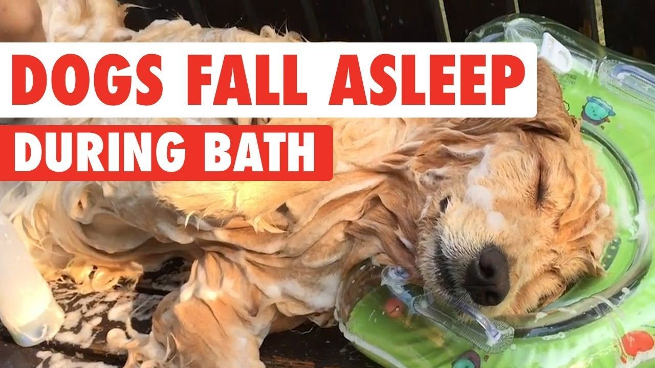 Golden Retriever Falls Asleep While Getting A Bath Golden