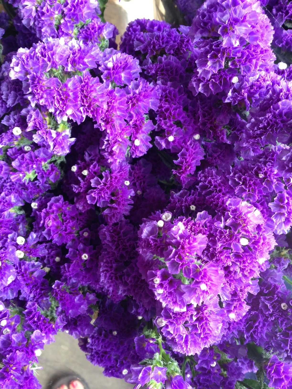 Limonium 'Crystal Dark Blue'...Sold in bunches of 10 stems