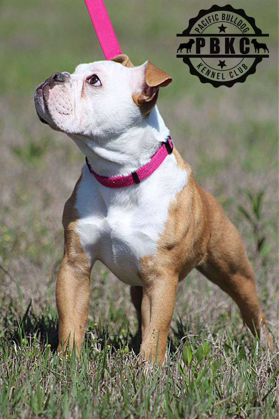 M E B Nyla J Pbkc Bulldog Bully Pacificbulldog Bully Dog