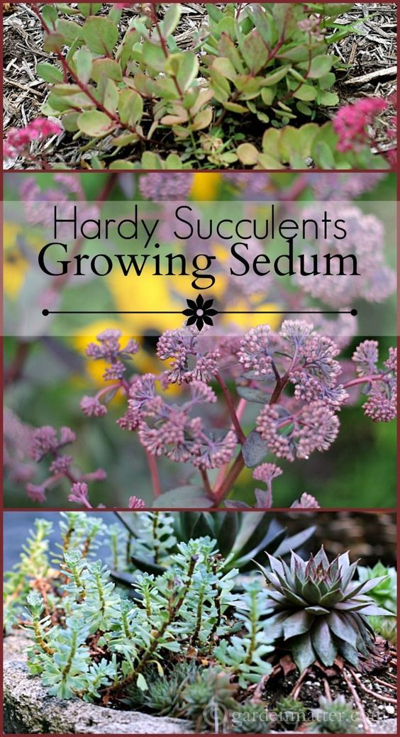 Growing Sedum Hardy Succulents that Grow in Cold