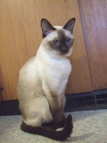 Pin By Jennifer Mcmaster On Siamese Tabby Kitten Balinese Cat Cats And Kittens