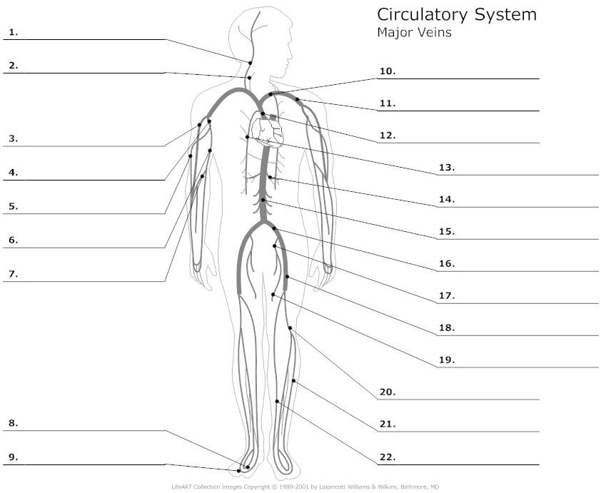 Major veins of the body unlabeled anatomy pinterest nursing circulatory system diagrams are visual representations of the circulatory system also referred to as the cardiovascular system ccuart Images