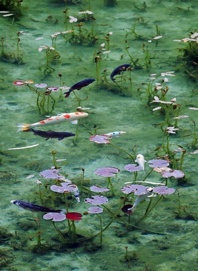 紅葉したスイレンの葉の間を泳ぐニシキゴイモネの池は大雨で濁っても