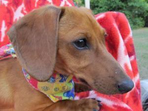 Adopt Pip On Beach Adoptable Dachshund Dog Miniature
