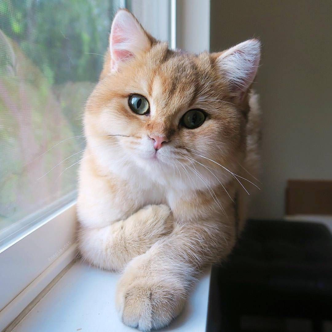 113 5 K Mentions J Aime 544 Commentaires Cat Lovers Club Catloversclub Sur Instagram From Maple Cat Double Ta Cute Cats Pretty Cats Cute Animals