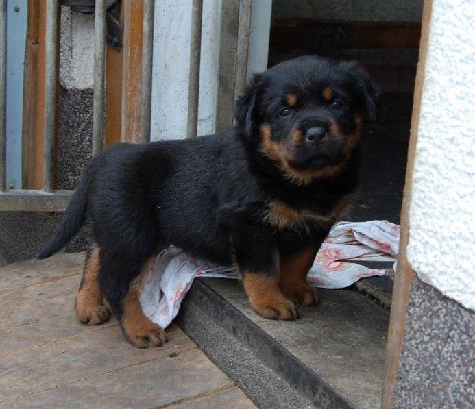 Rottweiler Welpen Puppies Rottweiler Puppies Rottweiler