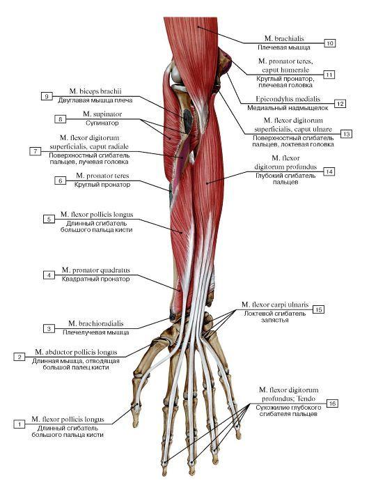vmede.org sait ?page=4&id=Anatomija_bili4_t1&menu=Anatomija_bili4_t1 ...