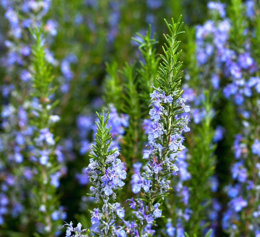 Rosemary Plants For Zone 7 Choosing Hardy Rosemary Plants For The Garden In 2020 Rosemary Plant Growing Rosemary Plants
