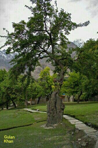 Fantastic old tree in Skardu Valley Hunza Gilgit Baltistan Pakistan