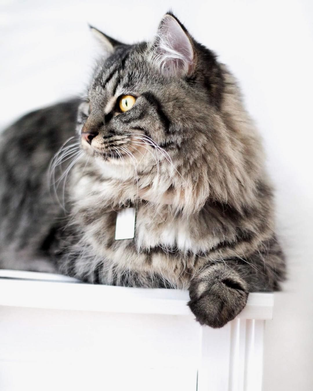 """""""Watching the birds outsideOne of my favorite things to do"""" . credit: @mainecoon_ho . CB Cats features the most adorable cats and kittens. Keep an eye on our website [link in the bio] for your daily share of cuteness. . . . Make sure to check out our cat-themed products at www.cmonstore.com"""