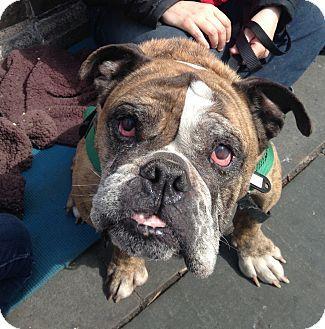 New York Ny American Bulldog Mix Meet Dubby A Dog For
