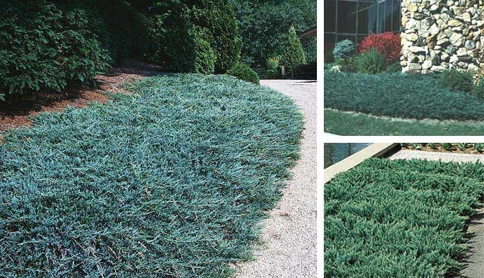 Juniper Blue Chip Is A Superior Evergreen Groundcover Displaying Silver Blue Foliage On A Widely Spr Lawn And Landscape Outdoor Landscaping Ground Cover Plants