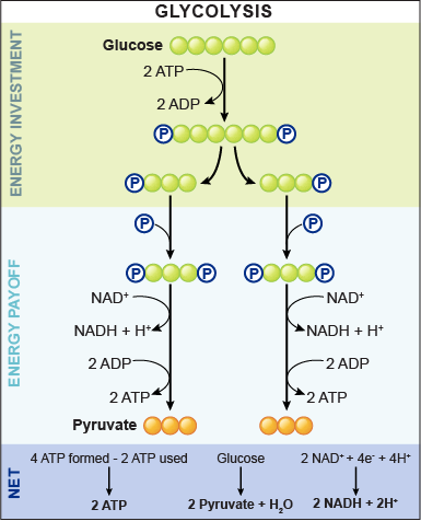how is glucose changed during glycolysis