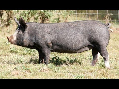 All Pig Breeds List From A To Z Youtube Pig Breeds