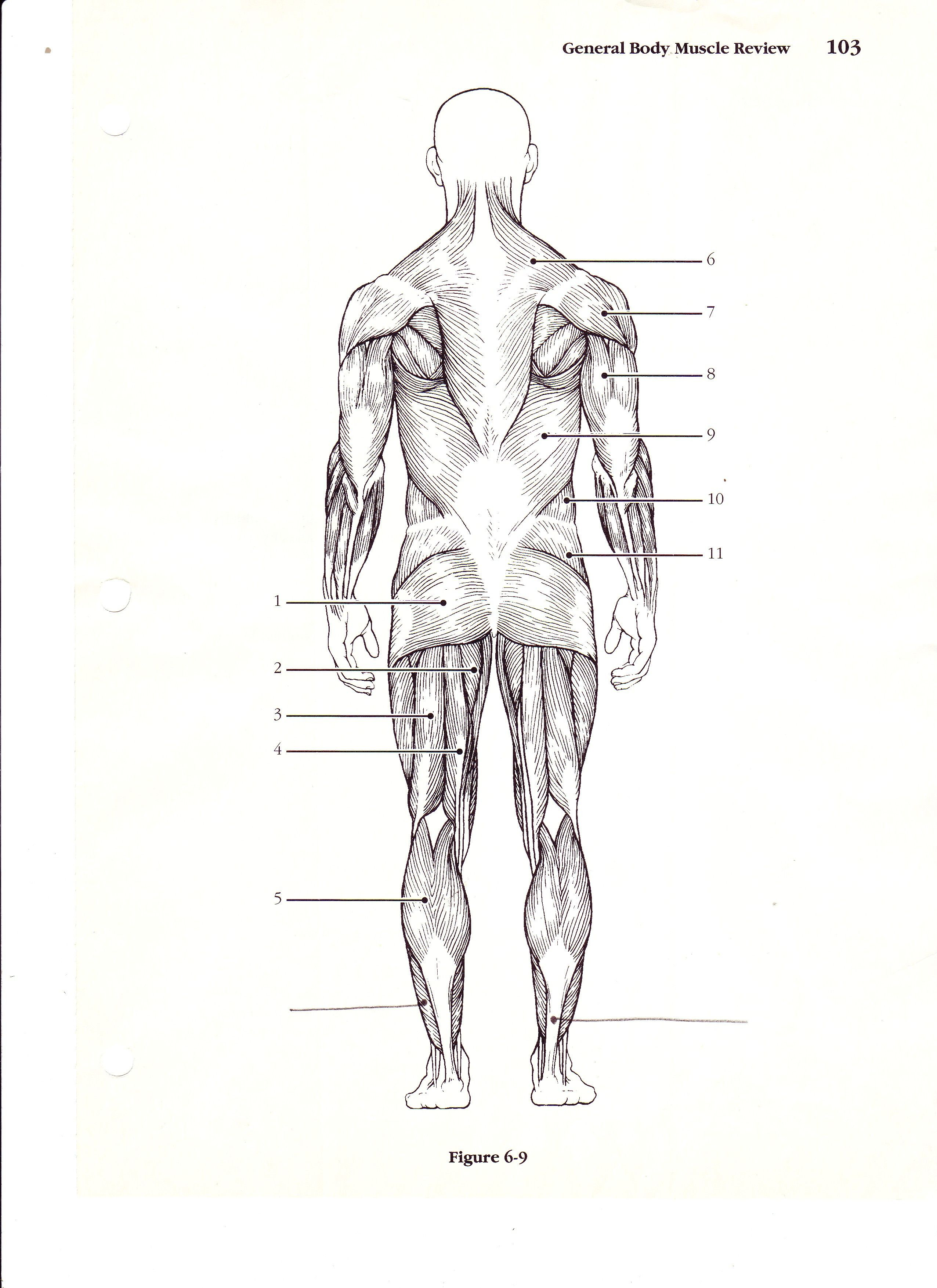 Blank Muscle Diagram To Label Lovely New Page 1  Bs079 K12