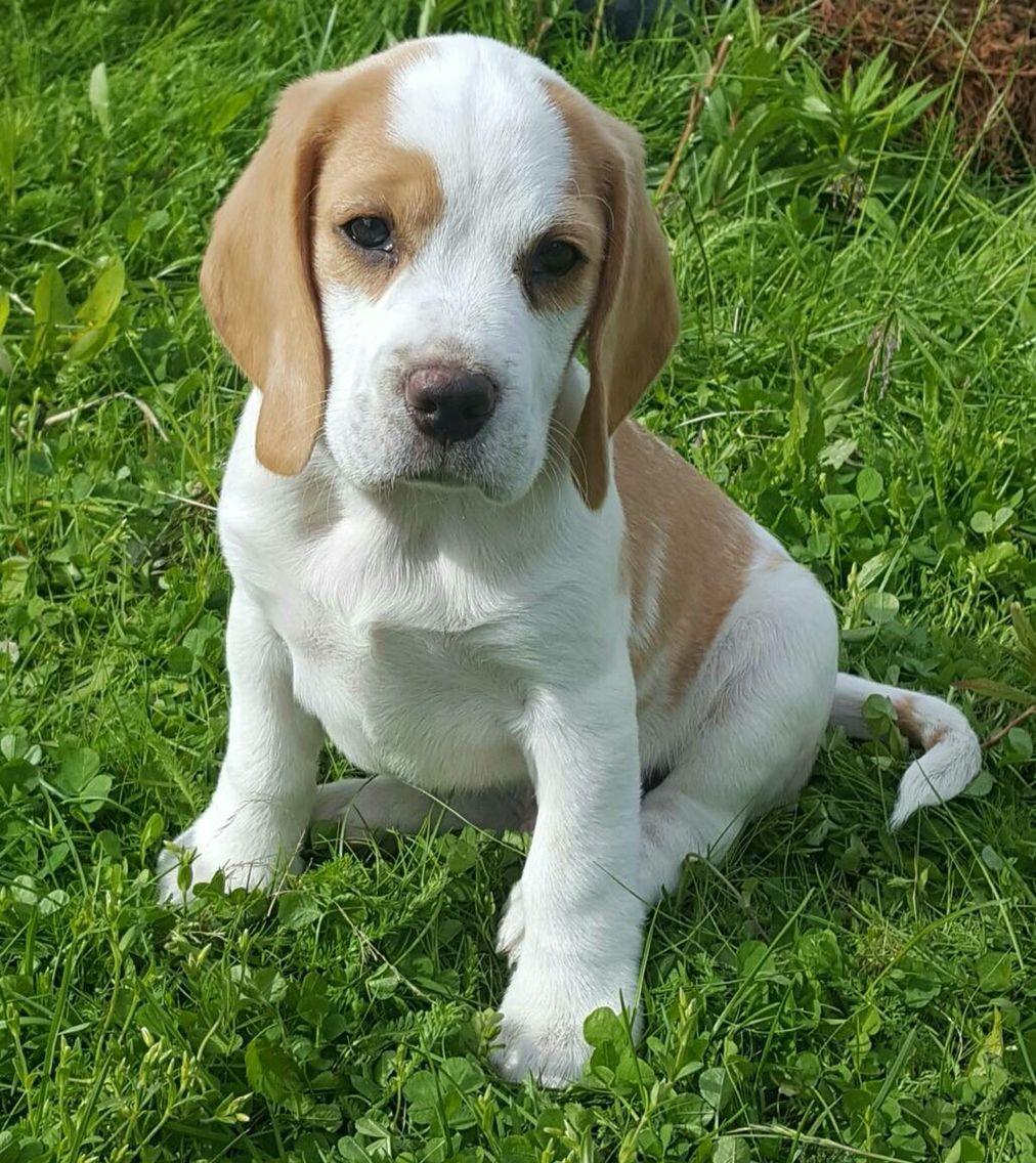 Lemon Beagle Puppy | Beagle puppy, Lemon beagle puppy ...  |Lemon Beagle Puppies