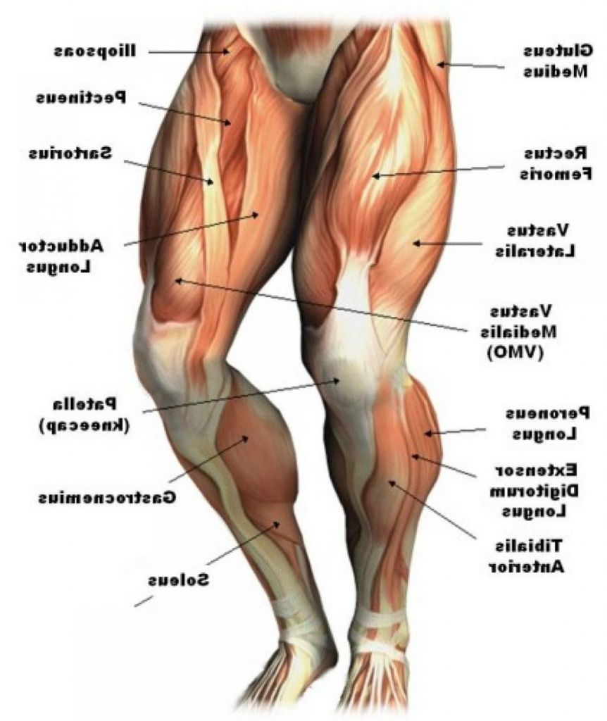 Human Leg Muscles Diagram  Human Leg Muscles Diagram Leg