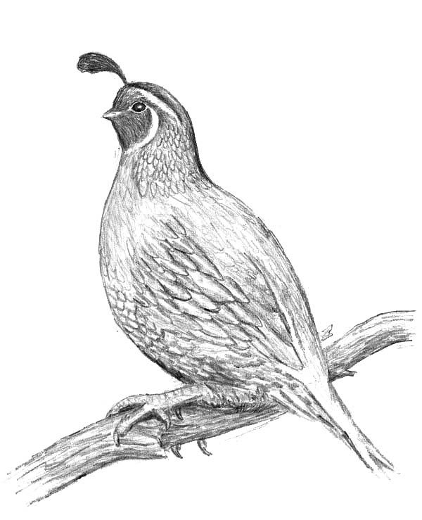 Free Printable Picture Of A Quail