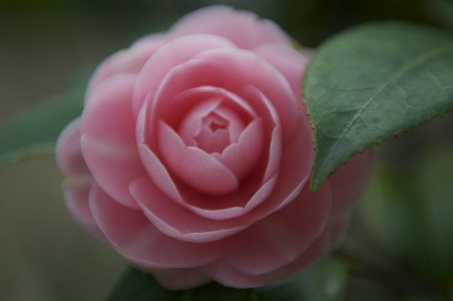 Camellia Japonica F Otome Flowers Photography Flower Photos Flowers