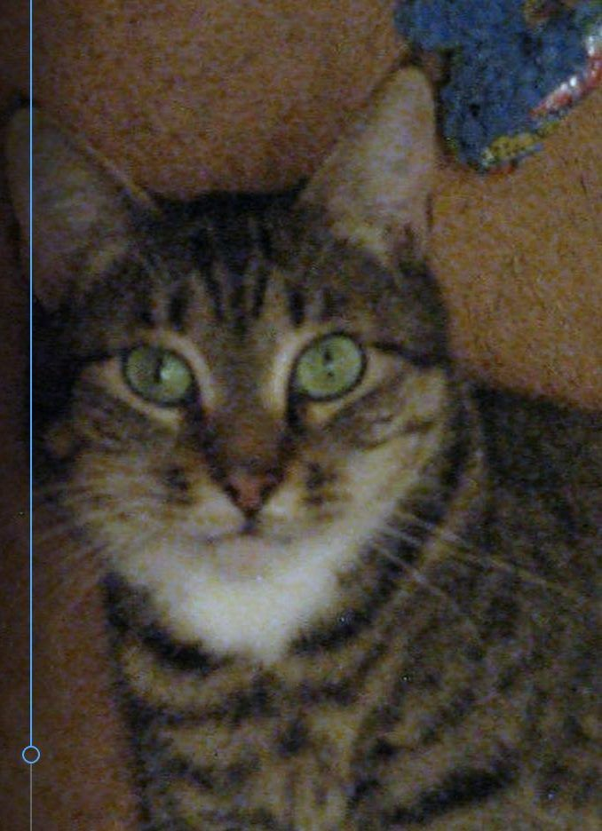 2 Yo F Tabby Tortoiseshell Torbie Cat For Adoption Denver Co Fixed Shots Healthy Supplies Included Cat Adoption Tabby Cats