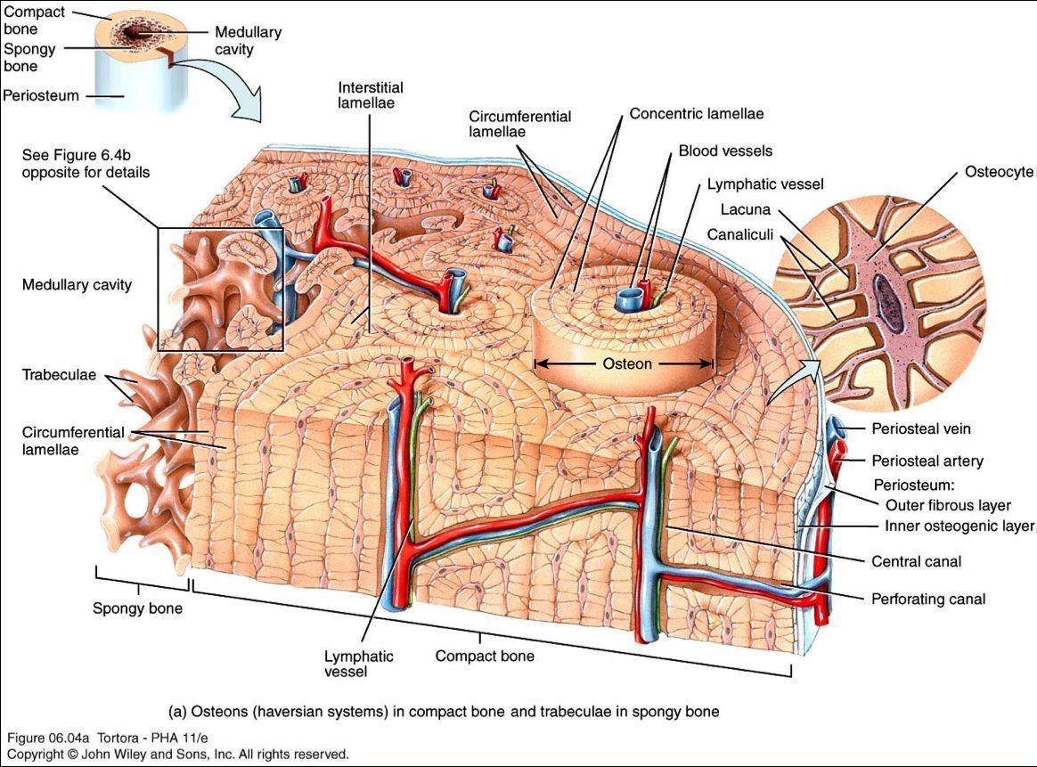 Compact Bone Tissue Osteon Diagram 5 Bone Tissue At Brown