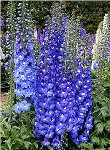 Delphinium royal aspirations bright royal blue florets with a delphinium royal aspirations bright royal blue florets with a contrasting white bee envelope the tall strong mightylinksfo Image collections