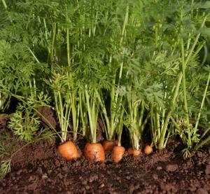 10 Plantas Que Hacen Una Gran Diferencia En La Cocina Seed Packets Seeds Planting Bulbs 1 cómo cultivar zanahorias y cuidados de la planta. seed packets seeds planting bulbs