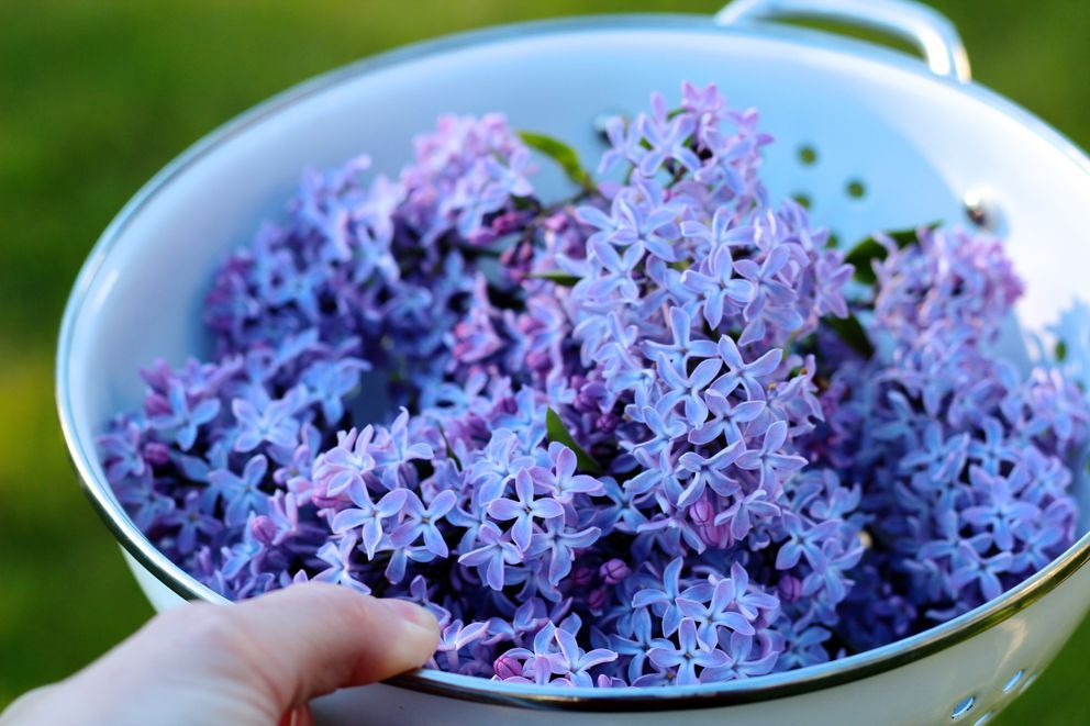 Capture The Sweet Essence Of Lilacs With This Delicate Amethyst Colored Syrup Lilac Lilac Scent Delicate