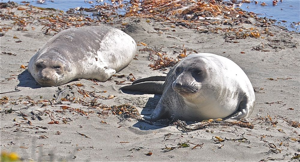 At the Piedras Blancas Beach in north-central California, a northern elephant seal rookery has become an important sanctuary for this once-endangered species. Check out these incredible photos of northern elephant seals in the wild.