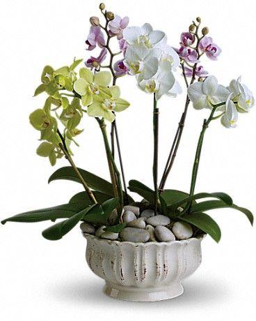 Regal Orchids In 2020 Orchid Flower Arrangements Orchid Plants Growing Orchids