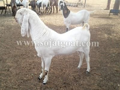 Sojat Goat: We have purebreed sirohi, sojat goat for sale