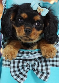 How Can You Resist That Face Corey The King Charles Cavalier Could Be Yours Today Call 954 353 Cavalier King Charles Dog King Charles Dog King Charles Puppy