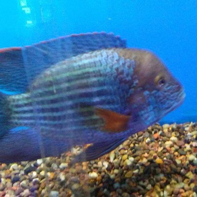 greenterror #cichlidlove #bigfish Cichlids Pinterest Cichlids - marine biologist job description