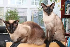 intelligent siamese pictures - Google Search