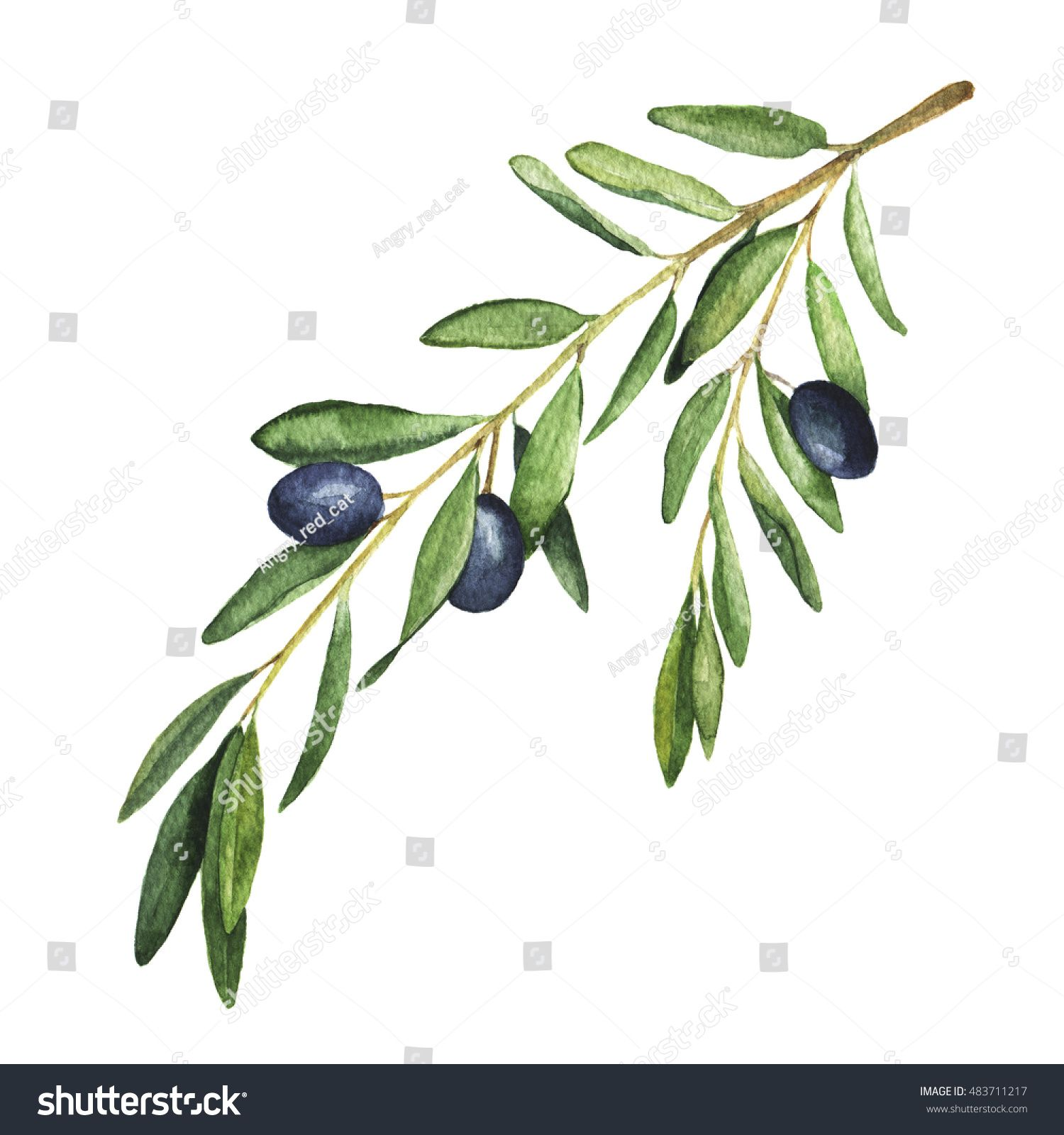 Olive tree branch on white background. Hand drawn watercolor ...