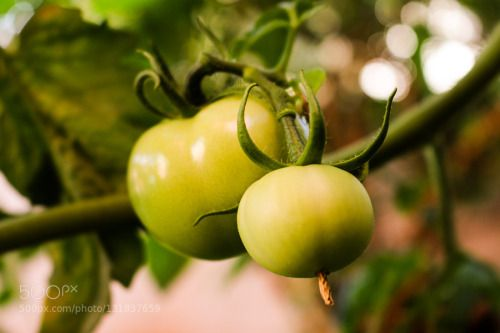 Tomato by valdirmarques  IFTTT 500px brasil brazil campinas green organic salad tomates tomato tomatoes vegetables