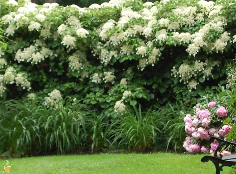 White Climbing Hydrangea Vine