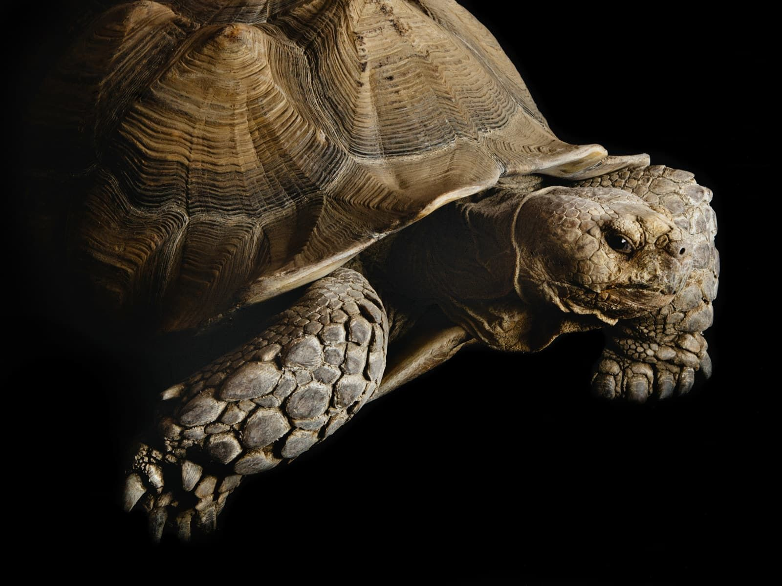 How Sulcata Tortoises Became America's Most Adorable