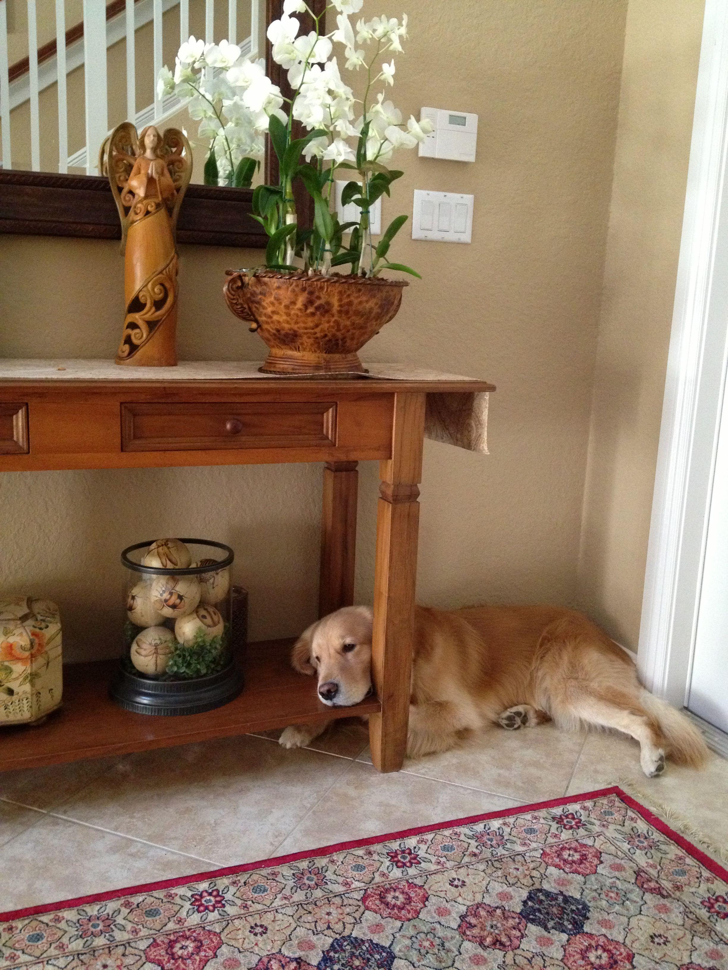 Golden Retriever Mix Puppies Maryland