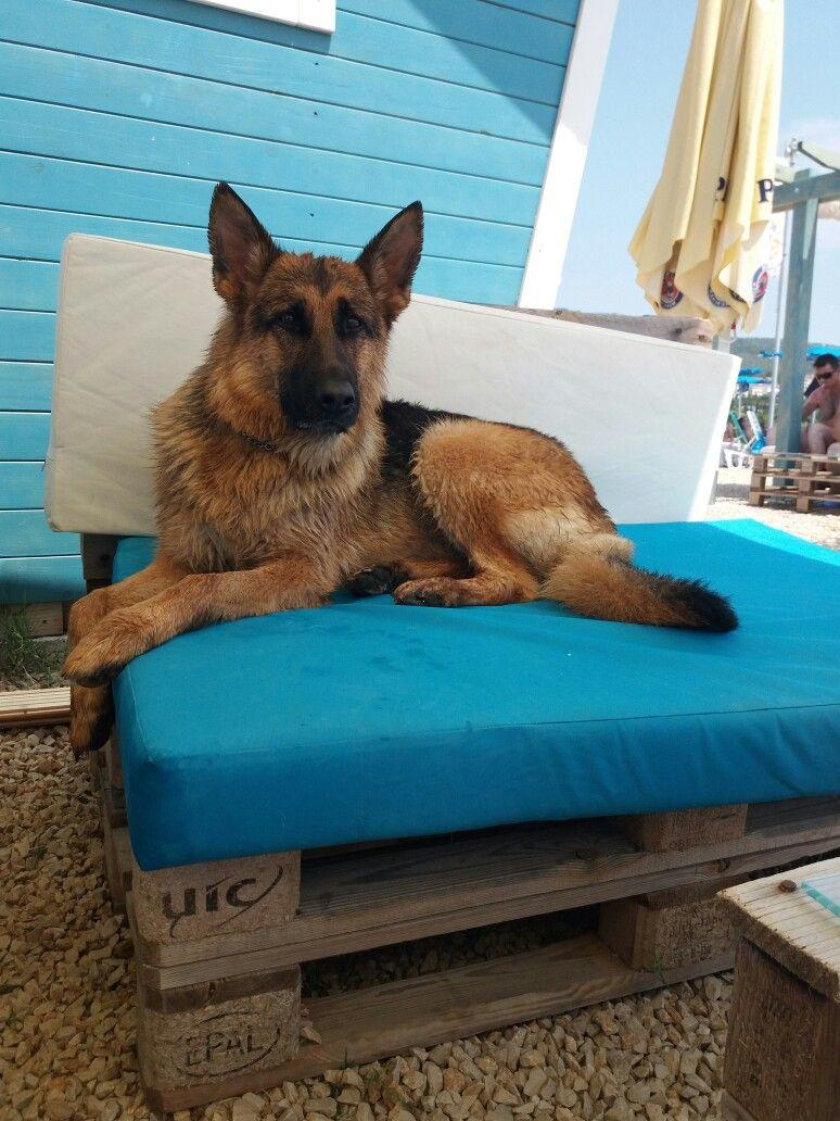 Gsdziva german shepherd gsd shepherd dog