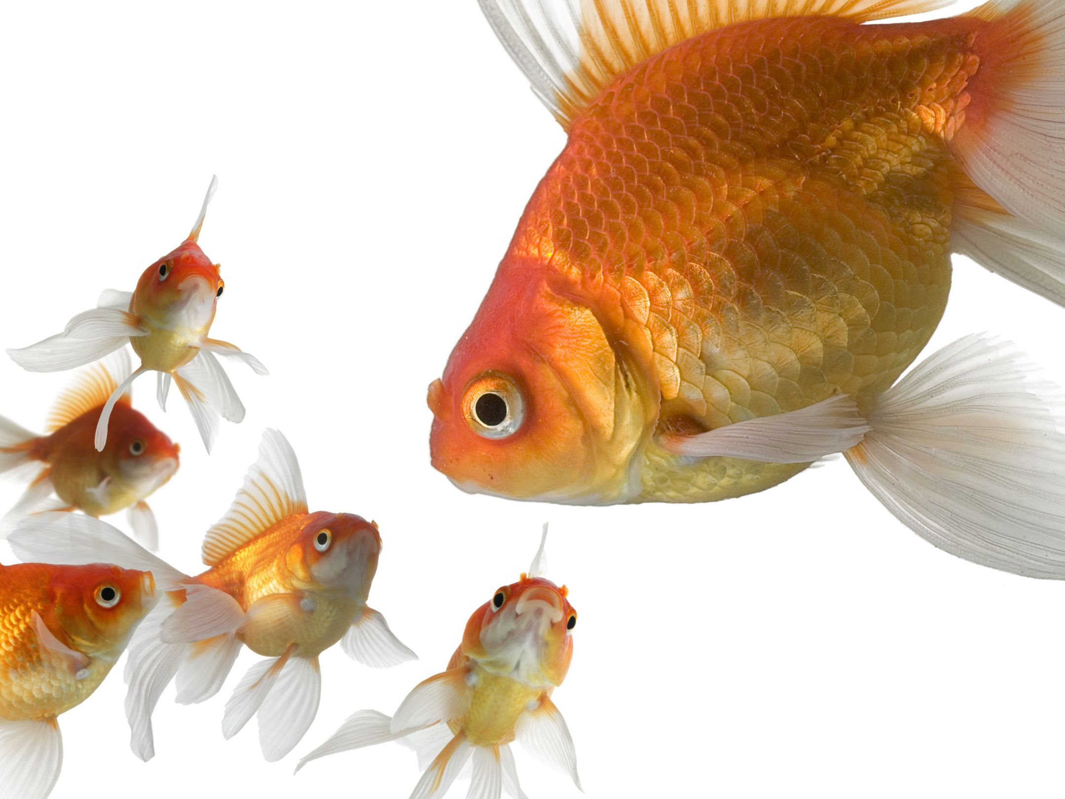 Freshwater aquarium fish exporters - Ornamental Fish Industry Is Exporting Freshwater Aquarium Fish From Sri Lankan Ornamental Fish Market