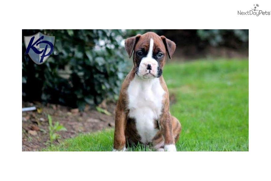 Boxer Puppy For Sale Near Lancaster Pennsylvania 5e392afe F5c1 Boxer Puppy Boxer Puppies Dog Care