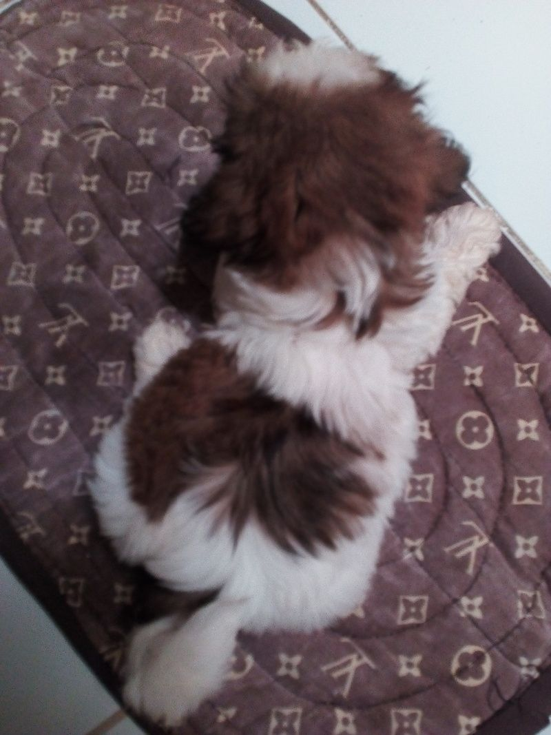 Shih Tzu Puppies For Sale Adoption From Manila Metropolitan Area Pasig Adpost Com Classifieds Philippines 80266 Shih Tzu Puppy Puppies For Sale Shih Tzu
