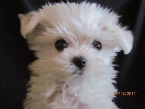 Akc Maltese Puppies Ch Bloodlines Babydoll Faces Maltese Puppy Teacup Puppies Maltese Maltese Dogs