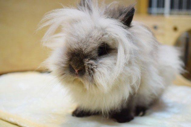 セレブでおくつろぎ Rabbits ラビッツ うさぎブリーダー専門店 大阪 うさぎ ラビッツ セレブ