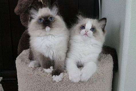 Ragdoll Cats Ragdoll Kittens By Rock Creek Ranch Ragdoll Cattery Ragdoll Kittens Available For Sale Ragdoll Cattery Ragdoll Cat Ragdoll Kitten