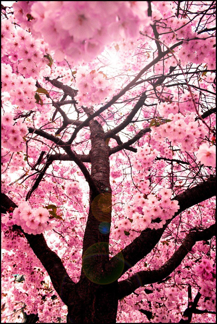 Sweet Red Cherry Blossom Tree By Yu Uki On Deviantart Cherry Blossom Wallpaper Cherry Blossom Art Blossom Trees