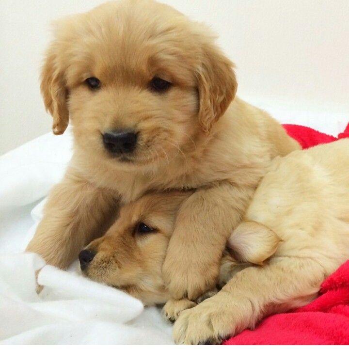 Amazing Golden Retriever Chubby Adorable Dog - 90f22b51eb3ac7f7f4ddd83c105a1f75  Perfect Image Reference_3360  .jpg