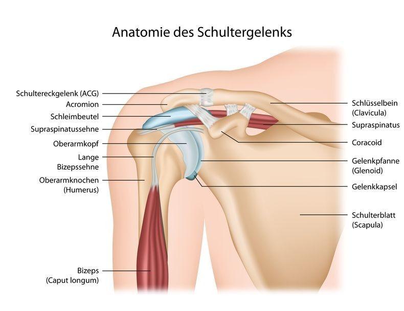 Anatomie des Schultergelenks. Aus: leading-medicine-guide.de | 9 ...