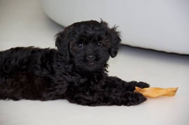 Black Toy Cavoodles For Sale Cavapoo Puppies For Sale Cavapoo Puppies Toys Australia
